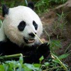 Panda cub: difficult topics and kids
