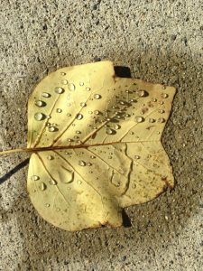 leaf stepped on